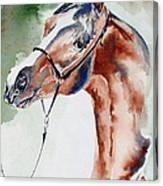 Arabian Stallion Canvas Print