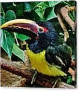 Aracari Canvas Print