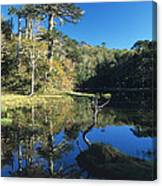 Araucaria Reflections In The Chilean Lake District Canvas Print
