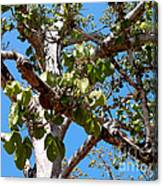 Panama Tree With Flowers Canvas Print