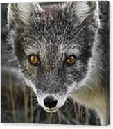 Arctic Fox In Summer Coat Canvas Print