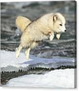 Arctic Fox Jumping Canvas Print