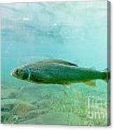 Arctic Grayling Or Thymallus Arcticus Underwater Canvas Print