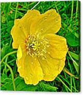 Arctic Poppy Near Maligne Lake Trail In Jasper National Park-alberta Canvas Print