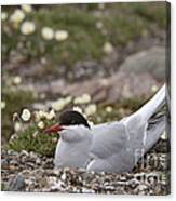 Arctic Tern In Its Nest Canvas Print