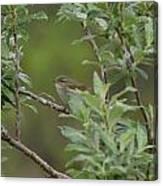 Arctic Warbler Canvas Print