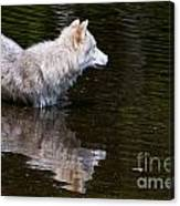 Arctic Wolf In Pond Canvas Print