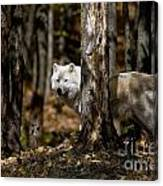 Arctic Wolf Picture 242 Canvas Print