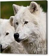 Arctic Wolf Picture 247 Canvas Print