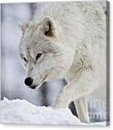 Arctic Wolf Pictures 1054 Canvas Print