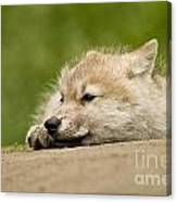 Arctic Wolf Pictures 1121 Canvas Print