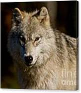 Arctic Wolf Pictures 1224 Canvas Print