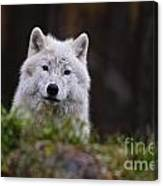 Arctic Wolf Pictures 208 Canvas Print