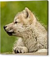Arctic Wolf Pictures 340 Canvas Print