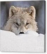 Arctic Wolf Pictures 417 Canvas Print