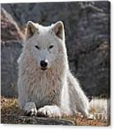Arctic Wolf Pictures 518 Canvas Print