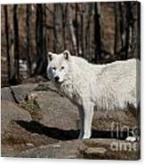 Arctic Wolf Pictures 512 Canvas Print