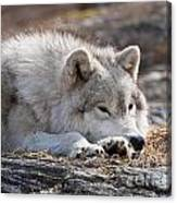 Arctic Wolf Pictures 526 Canvas Print