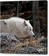 Arctic Wolf Pictures 541 Canvas Print