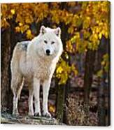 Arctic Wolf Pictures 709 Canvas Print