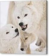 Arctic Wolf Pictures 872 Canvas Print
