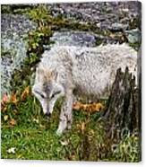 Arctic Wolf Pictures 927 Canvas Print