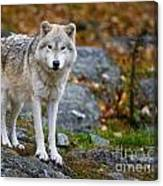 Arctic Wolf Pictures 942 Canvas Print