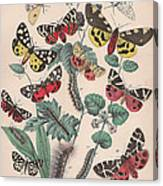 Arctlidae Canvas Print