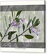 Arctostaphylos Manzanita 'monica' Canvas Print