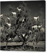 Argan Loving Goats Canvas Print
