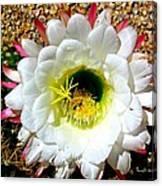 Argentine Cactus Canvas Print