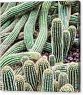 Argentine Giant Cactus Canvas Print