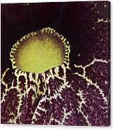 Aristolochia - Dutchmans Pipe Canvas Print