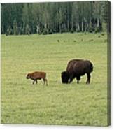 Arizona Bison Canvas Print