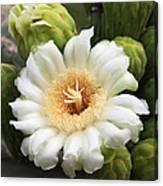 Arizona State Flower The Saguaro Blossom Canvas Print