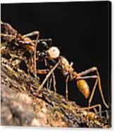 Army Ant Carrying Cricket La Selva Canvas Print