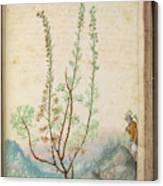 Artemisia Abrotanum Canvas Print