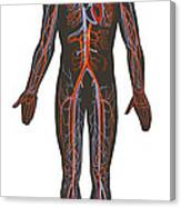 Arteries And Veins Of The Human Body Canvas Print