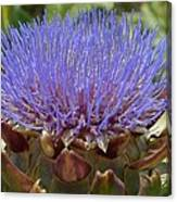 Artichoke Bloom Canvas Print