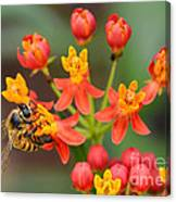 Asclepias Curassavica And Bee Canvas Print