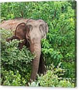 Asian Elephant  Elephas Maximus Canvas Print