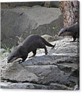 Asian Small Clawed Otter - National Zoo - 01132 Canvas Print