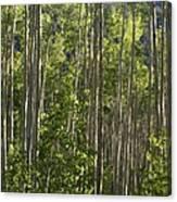 Aspen Along Independence Pass  Canvas Print