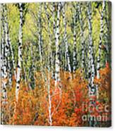 Aspen And Maple Trees In Autumn Canvas Print