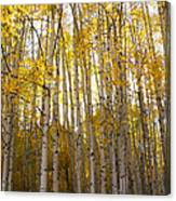 Aspen Autumn Canvas Print