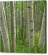 Aspen Forest In Spring Canvas Print