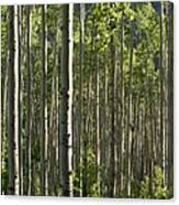 Aspen Grove Along Independence Pass II 2009 Canvas Print