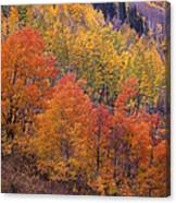Aspen Grove In Fall Colors Canvas Print