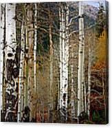 Aspen In The Rockies Canvas Print