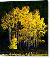 Aspen Stand Canvas Print
